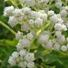 THUMB_WildQuinine_Parthenium_integrifolium_2_PRairie_Moon