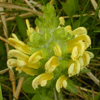 THUMB_WoodBetony_CanadianLousewort_Pedicularis_canadensis_John_Hilty