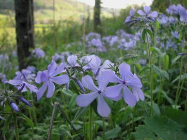 Wild Blue Phlox Woodland Phlox Tennessee Smart Yards Native Plants