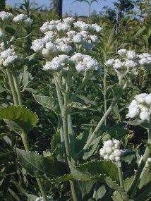 Parthenium integrifolium