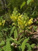 Pedicularis canadensis