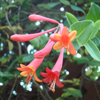 Thumb Coral Honeysuckle