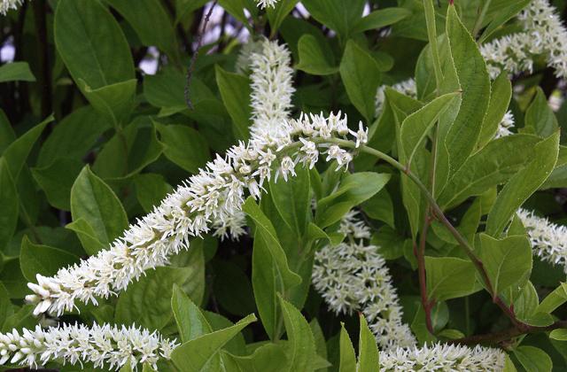 Clethra acuminata