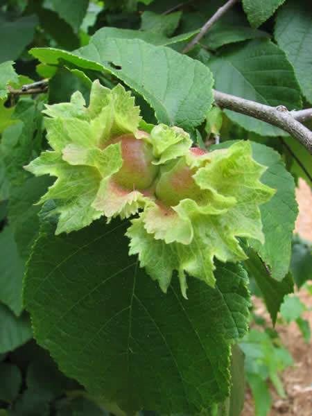 Corylus americana