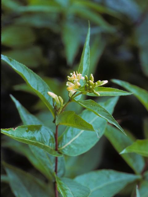 Diervilla sessilifolia