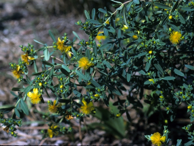 Hypericum frondosm