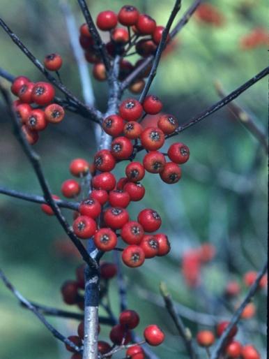 Photinia pyrifolia