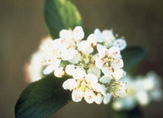 Photinia pyrifolia