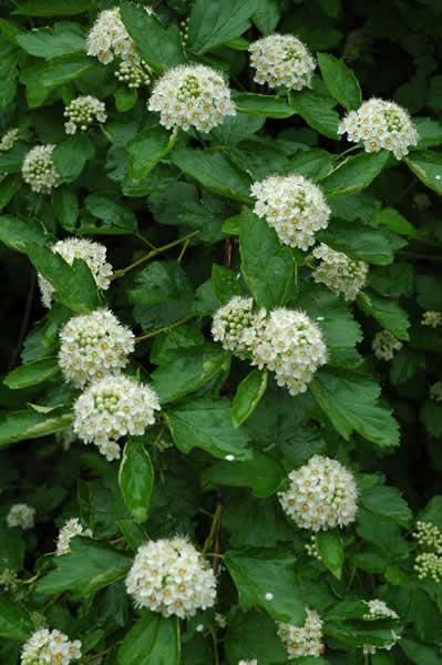 Physocarpus opulifolis