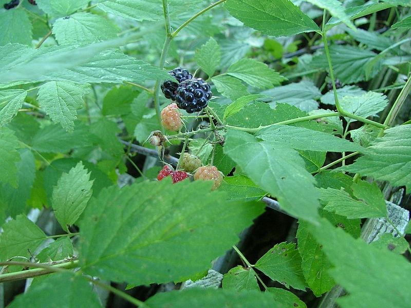 Rubus occidentalis