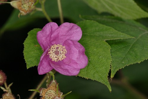 Rubus odoratus