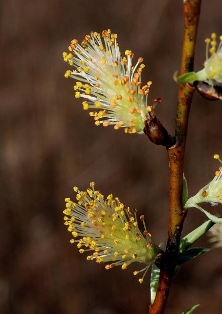 Salix sericea