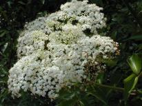 Sambucus nigra ssp canadensis