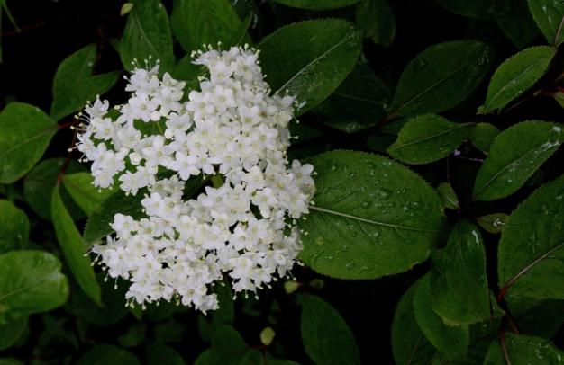 Viburnum nudum var cassinoides