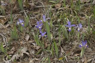 Iris verna