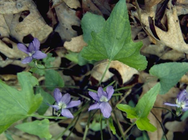 Viola palmata