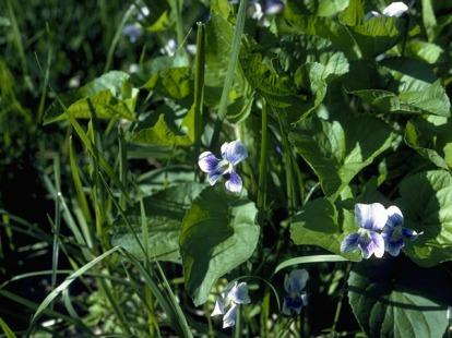 Viola rotrata