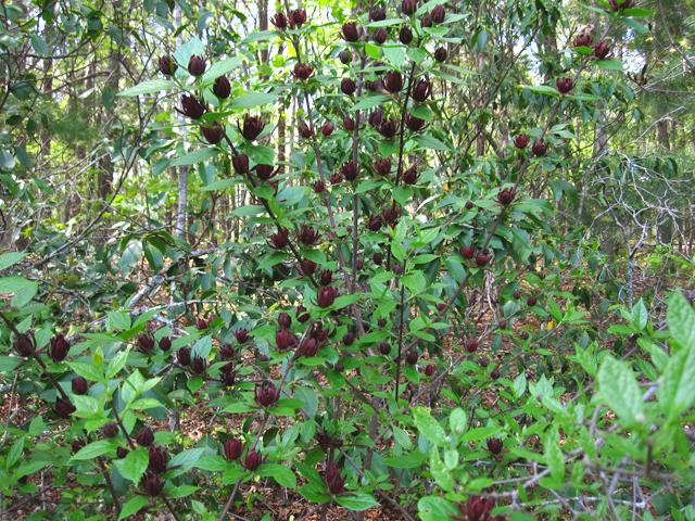 Sweetshrub Carolina Allspice Sweet Betsy Tennessee