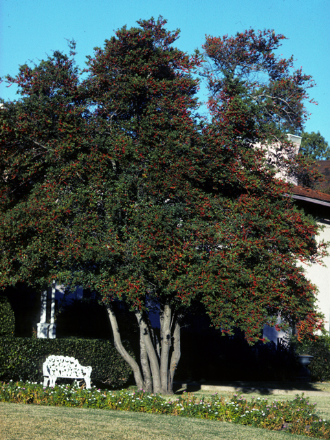 Yaupon Holly | Tennessee Smart Yards Native Plants