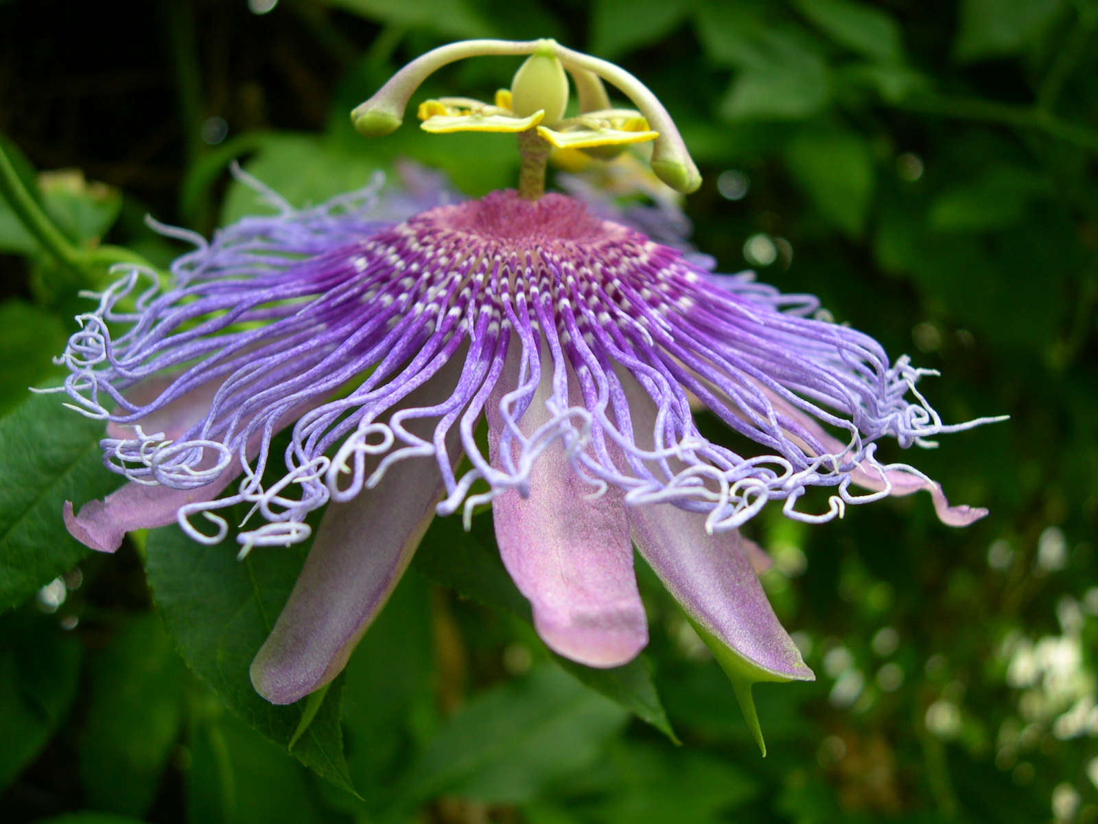 Passion Flower Maypop Tennessee Smart Yards Native Plants