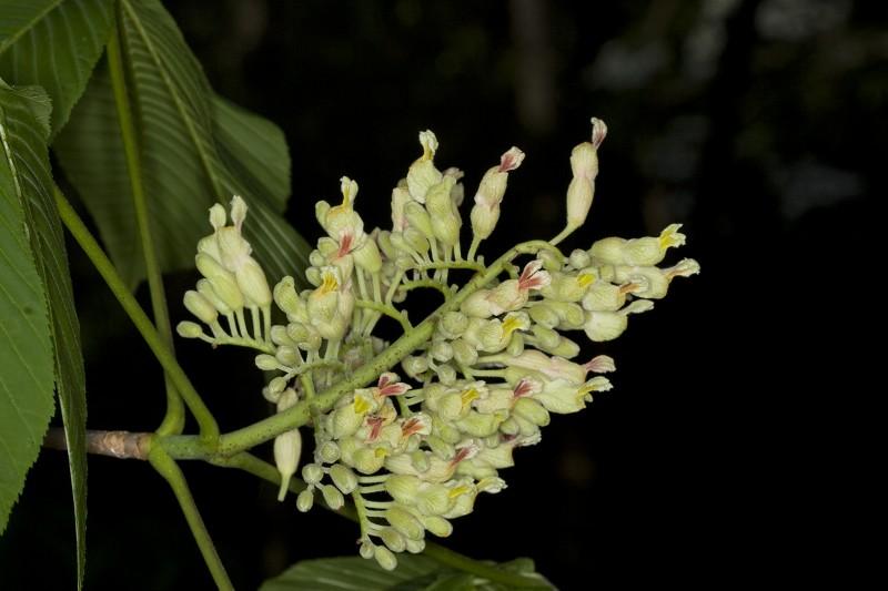 Aesculus flava