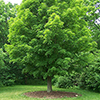 THUMB_Acer saccharum,SugarMaple 1 wiki