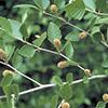 THUMB_Betula nigra 3 LBJ