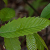 THUMB_Castanea dentata 2 SF