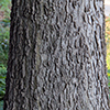 THUMB_Celtis occidentalis 2 wiki