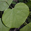 THUMB_Cercis canadensis 4 JH