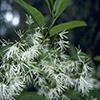 THUMB_Chionanthus virginicus flower closeup LBJ