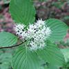 THUMB_Cornus alternifolia 1 wiki