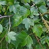 THUMB_Crataegus phaenopyrum 2 JH