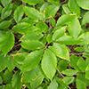 THUMB_Fagus grandifolia leaves wiki