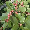 THUMB_Frangula caroliniana berries LBJ