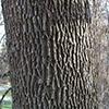 THUMB_Fraxinus americana Paul Wray Iowa State U FI