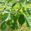 THUMB_Fraxinus pennsyl leaves LBJ