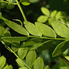 THUMB_Gleditsia tri leaves closeup JH