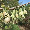 THUMB_Halesia tetraptera flowers wiki