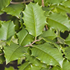 THUMB_Ilex opaca leaves SEF