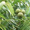 THUMB_Juglans nigra leaves nuts wiki
