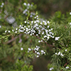 THUMB_Juniperus virginiana berries SEF