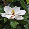 THUMB_Magnolia grandiflora flower leaf wiki