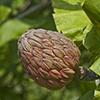 THUMB_Magnolia_macrophylla_fruit SEF