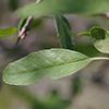 THUMB_Malus angustifolia leaf SEF
