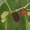 THUMB_Morus rubra berry closeup SEF