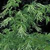 THUMB_Oxydendrum arboreum flowers LBJ