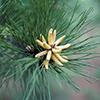 THUMB_Pinus echinata flowers LBJ