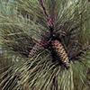 THUMB_Pinus taeda cone LBJ