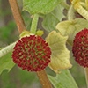 THUMB_Platanus occidentalis flowers LBJ